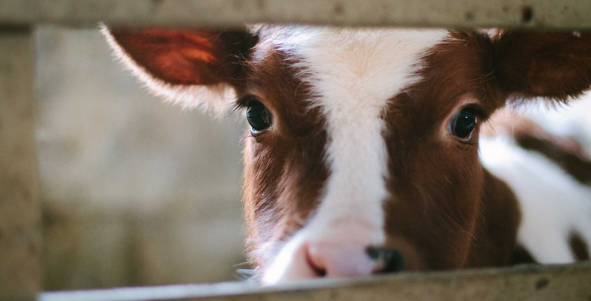 The Dairy Industry: A Mother's Worst Nightmare